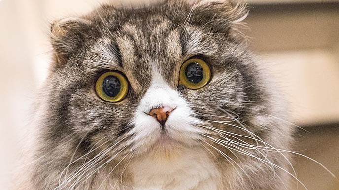 大きい目で見つめる猫
