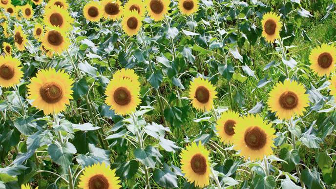 夏の太陽を浴びるひまわり