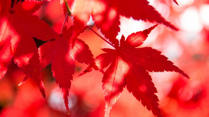 真っ赤に紅葉したモミジ