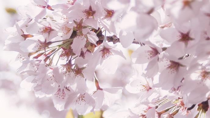 春に咲く満開の桜
