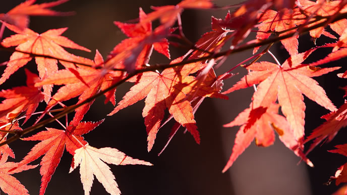 秋本番で紅葉するモミジ