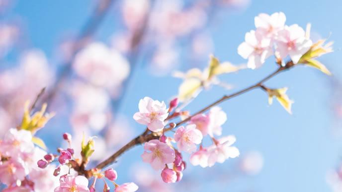 春になり満開になった桜