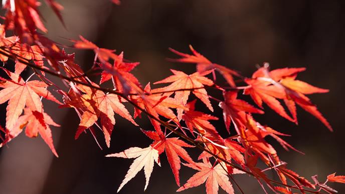 秋の風物詩の真っ赤なモミジ