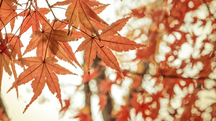11月に入り色づいてきた紅葉