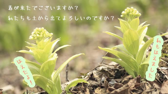 春が来て土から出てきたふきのとう