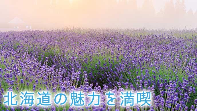 北海道のラベンダー畑