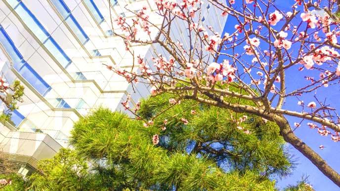 梅の花が咲くオフィスビル