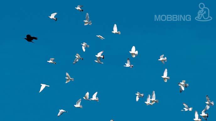 一羽のカラスを追い回す鳩の群れ